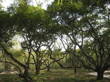 增城正果湖心岛景区百年橄榄树林